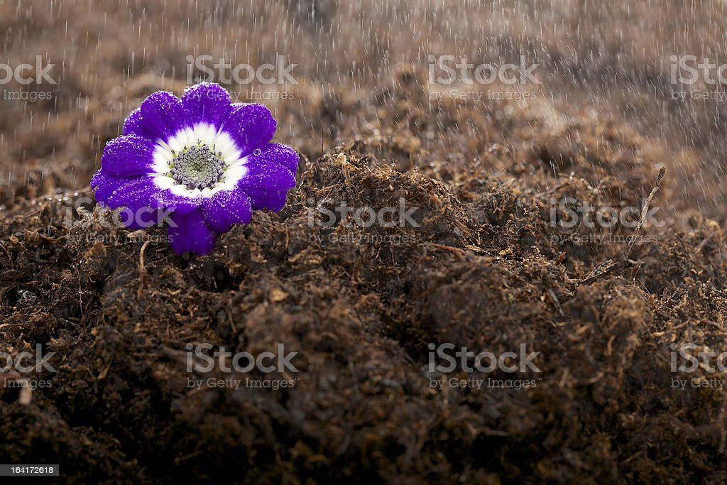 Violet in the rain royalty-free stock photo