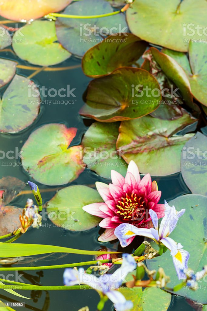 violet iris-pink water lily lotus stock photo