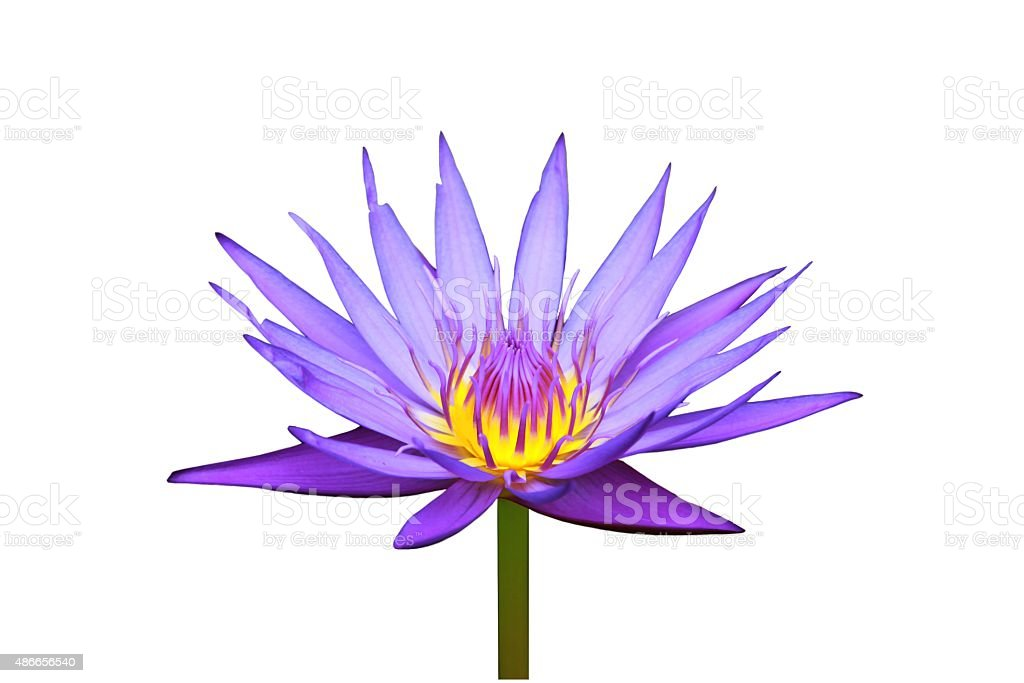 Violet lotus blossoms stock photo