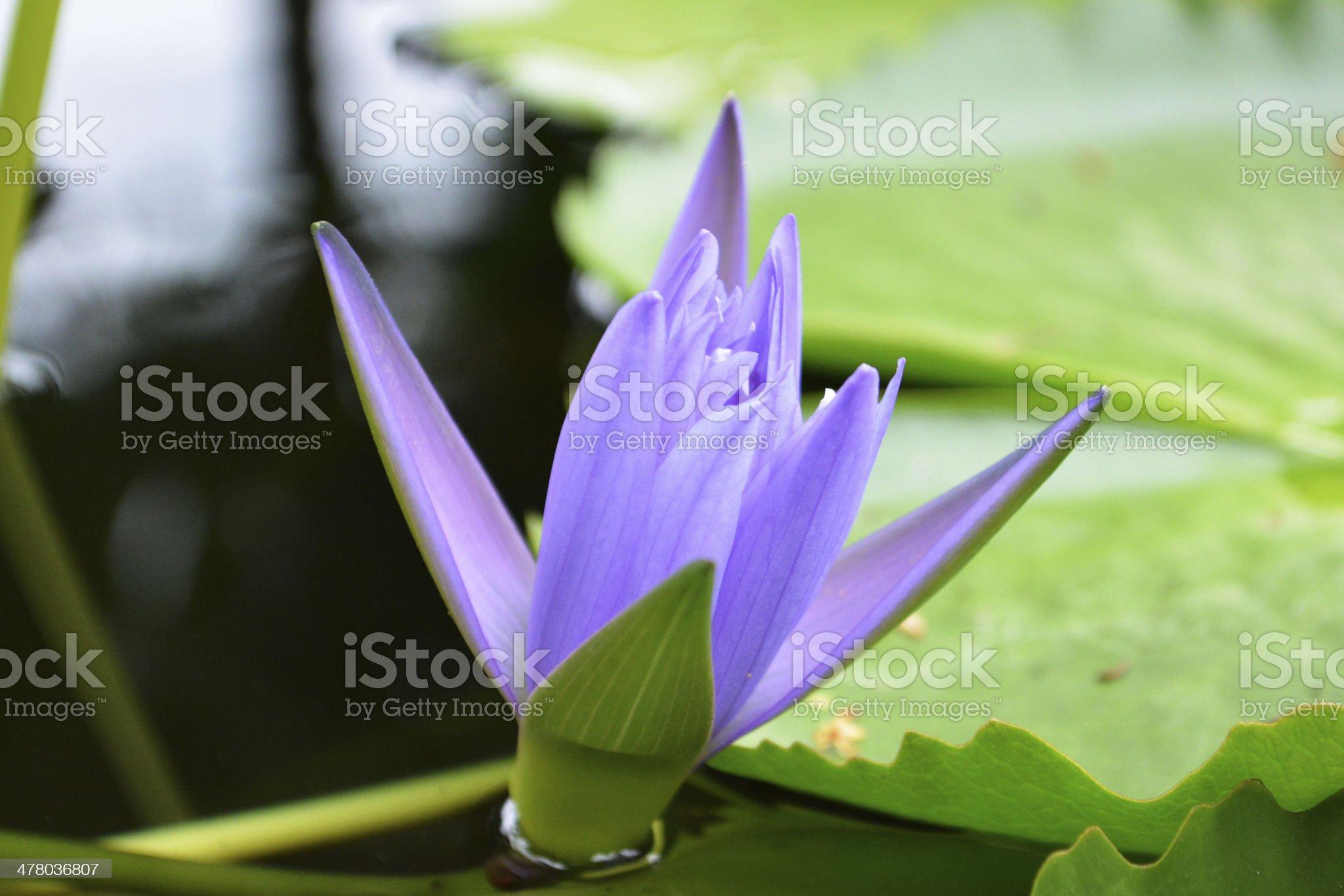 Violet Lotus flower. royalty-free stock photo