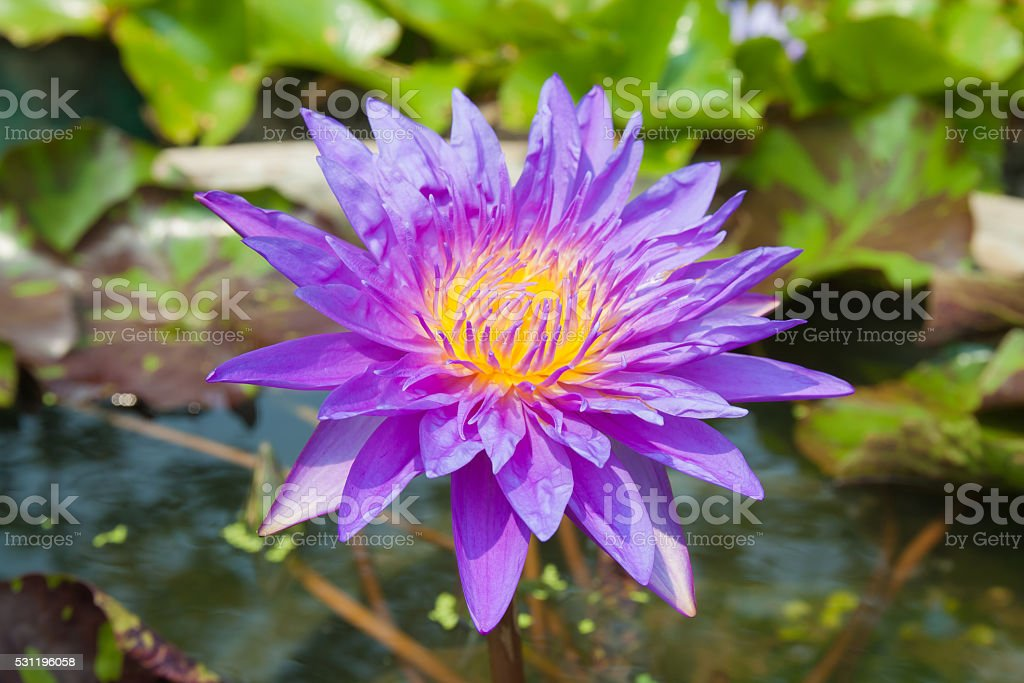 Violet lotus in lagoon royalty-free stock photo