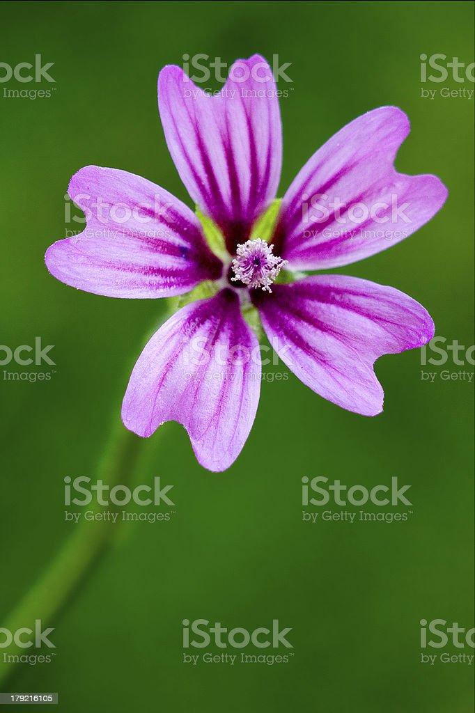 violet malva stock photo