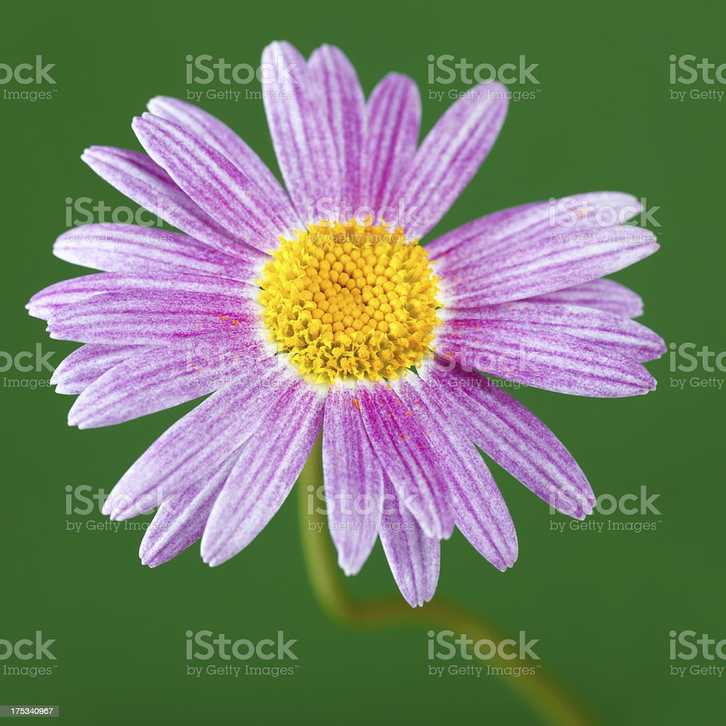 Violet Michaelmas Daisy royalty-free stock photo