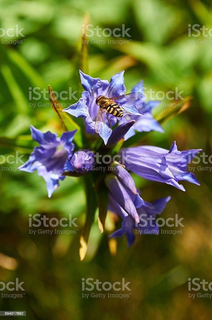 Violet mountain flower. Gentiana asclepiadea (willow gentian) stock photo