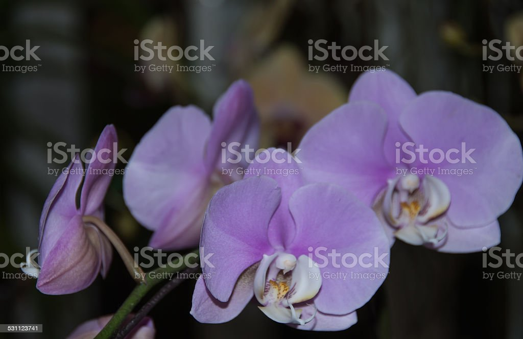 Violet orchid flower stock photo