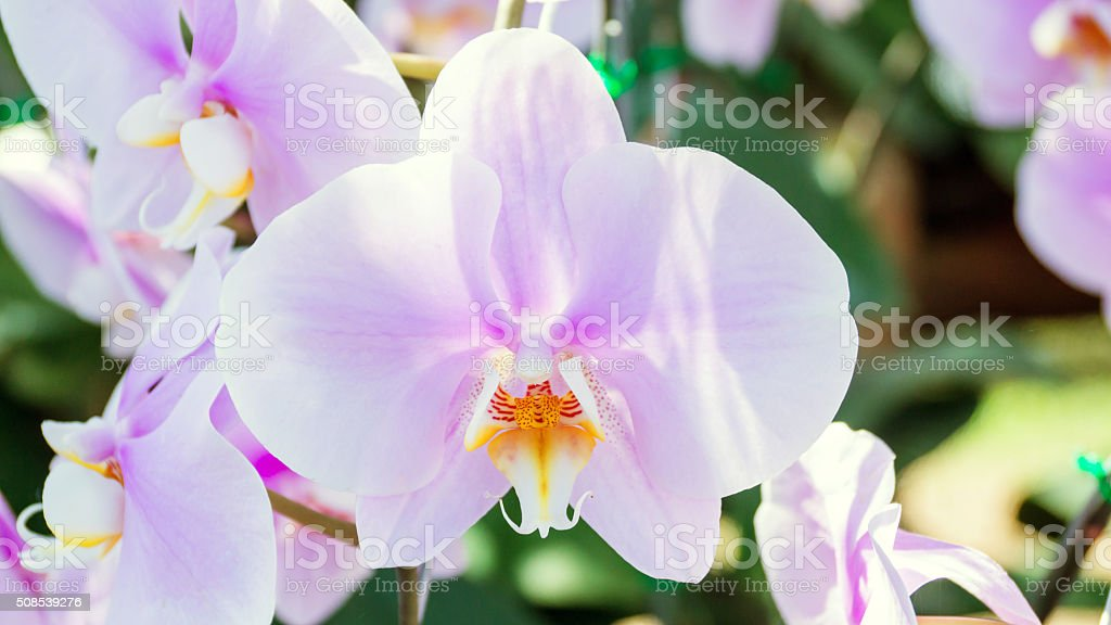 Violet orchid in the garden. stock photo