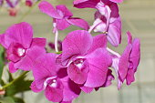 Violet orchid phalaenopsis. Bouquet of flowers orchids