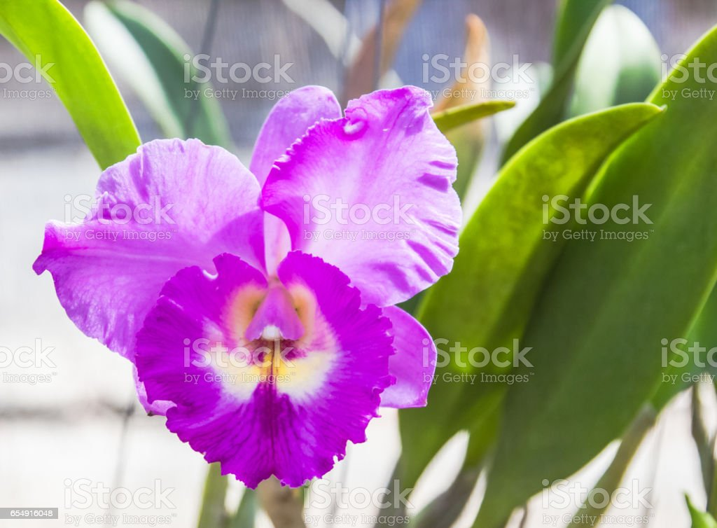 Violet orchid. stock photo