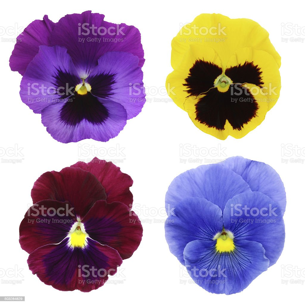 Violet Pansies XXXL with clipping path royalty-free stock photo
