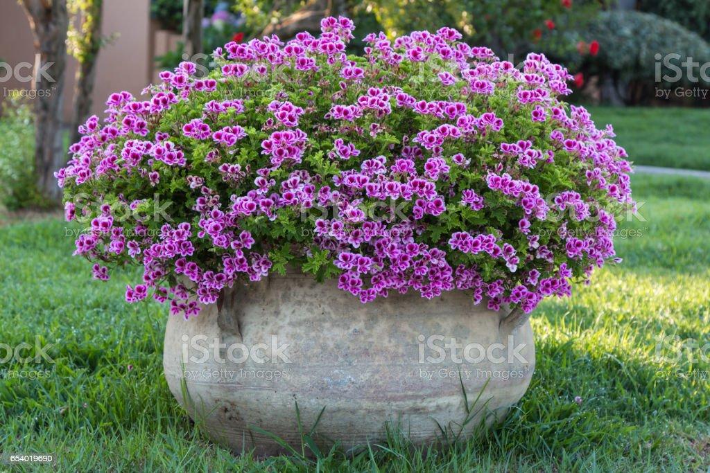 Violet Petunia: Beautiful Flowering Plant inside White Flowerpot stock photo