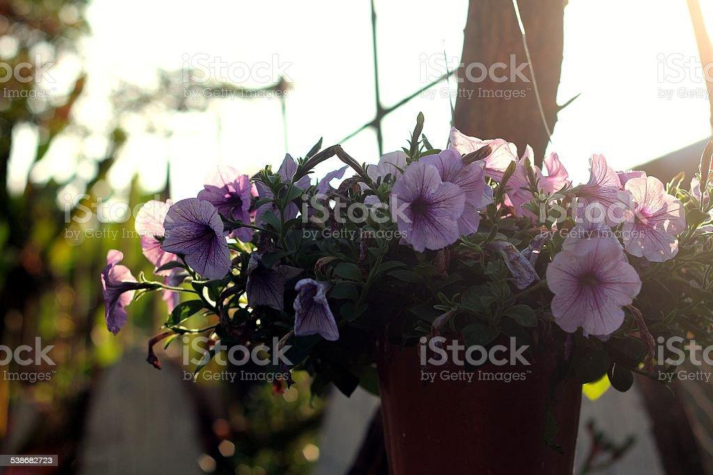 violet pétunia photo libre de droits