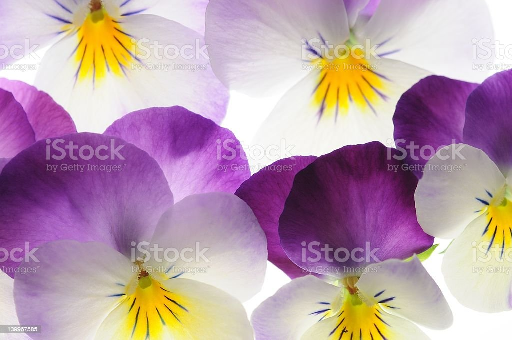 viola royalty-free stock photo