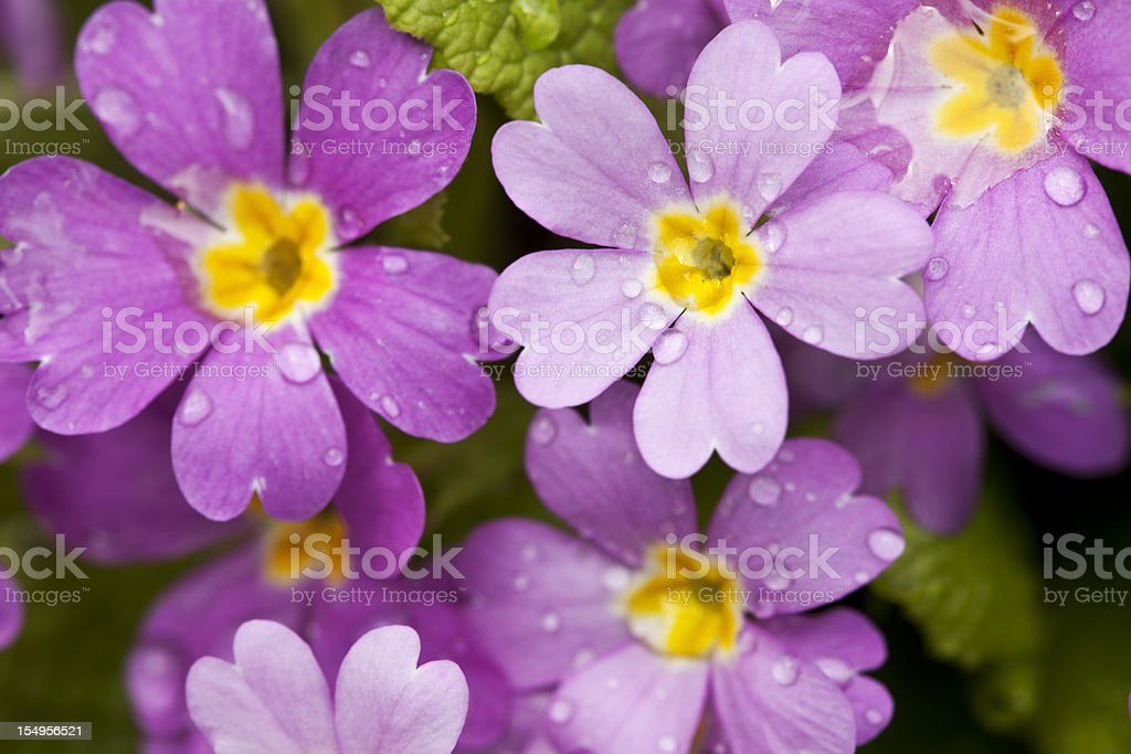 violet primula with raindrops stock photo
