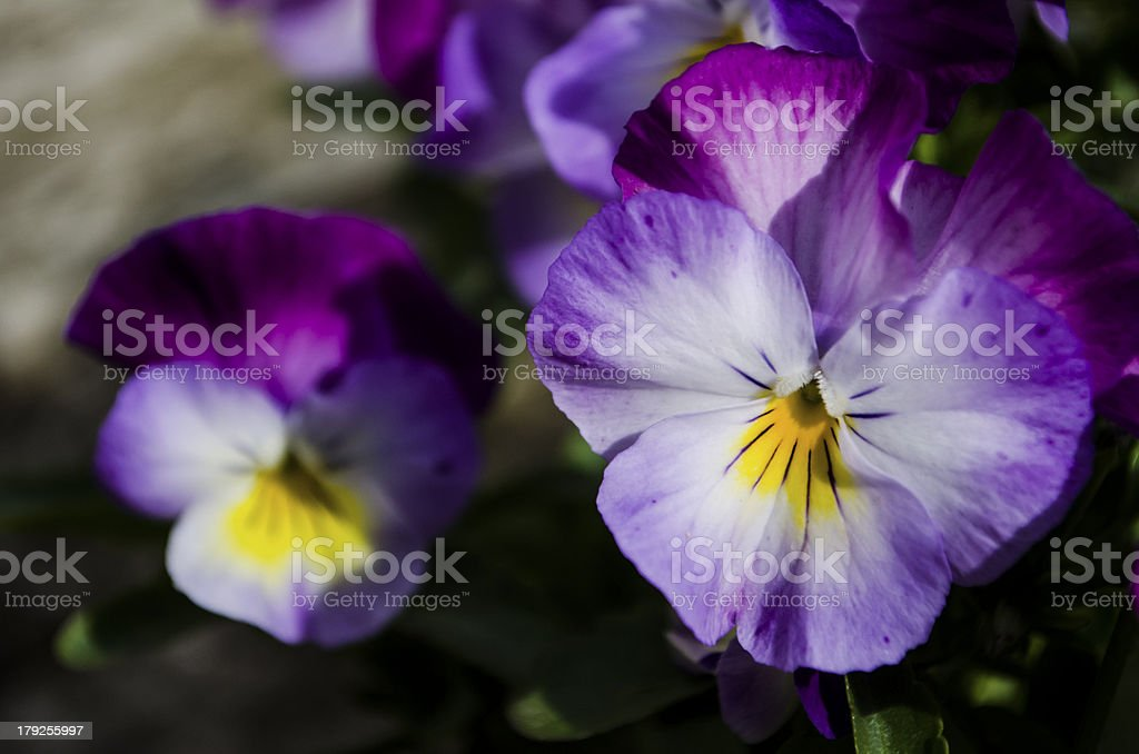 violet purple pansy flowers royalty-free stock photo
