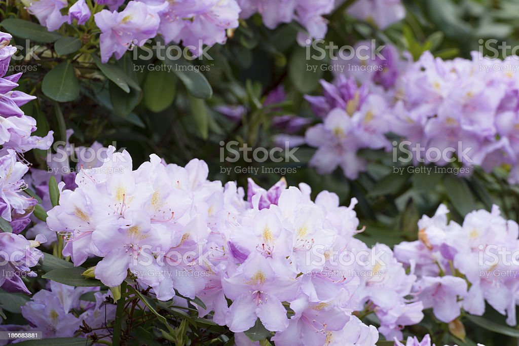 Violet Rhododendron Flowers - XXXL royalty-free stock photo
