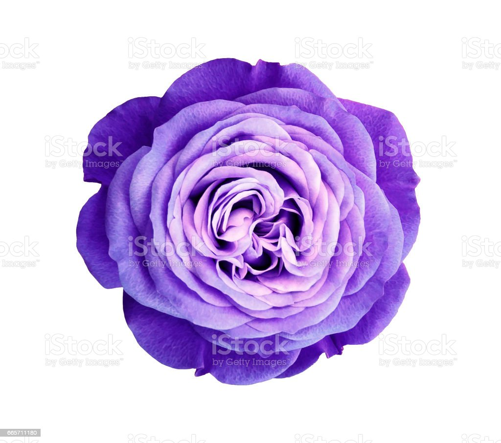 violet rose flower. white isolated background with clipping path. Nature. Closeup no shadows. Nature. stock photo