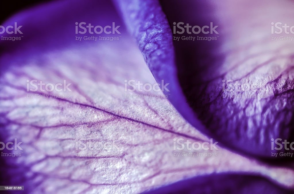 Violet Rose stock photo
