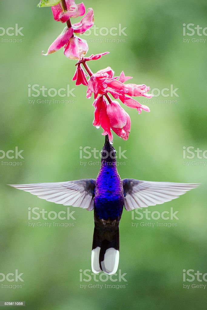 violet sabrewing hummingbird, Campylopterus hemileucurus stock photo