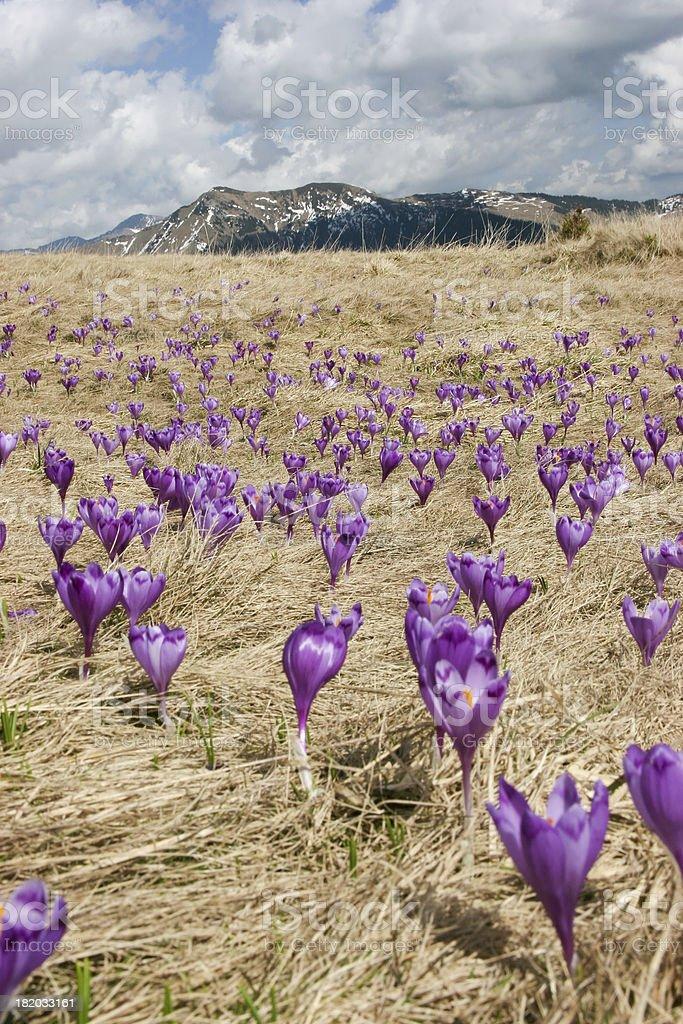 Violet Spring Crocus stock photo