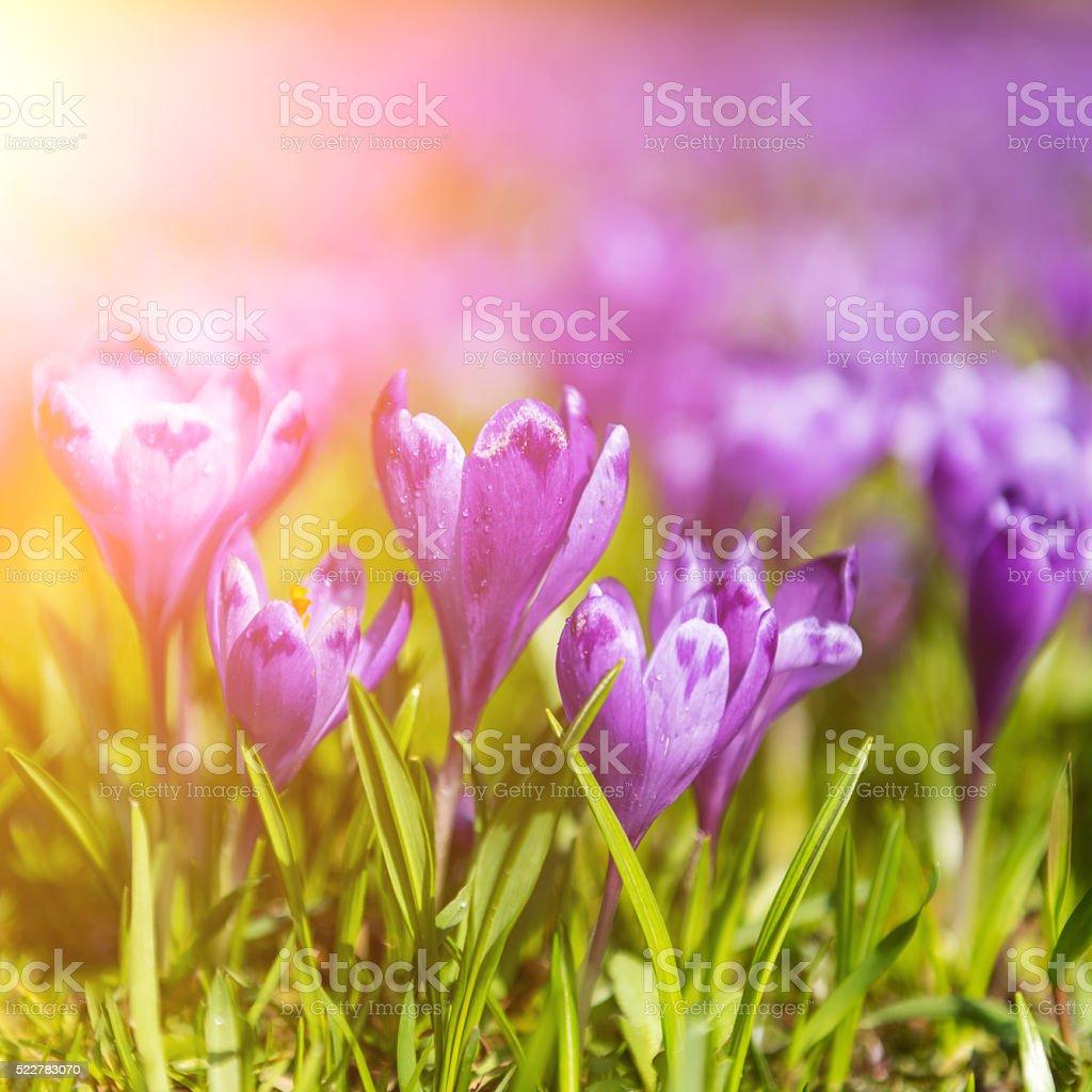 Violet spring flowers in sunshine stock photo