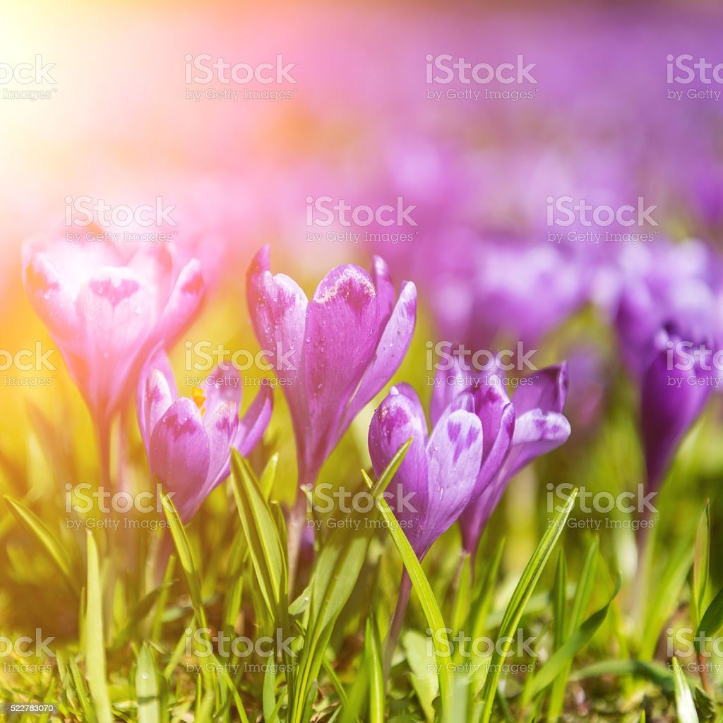 Violet spring flowers in sunshine stock photo