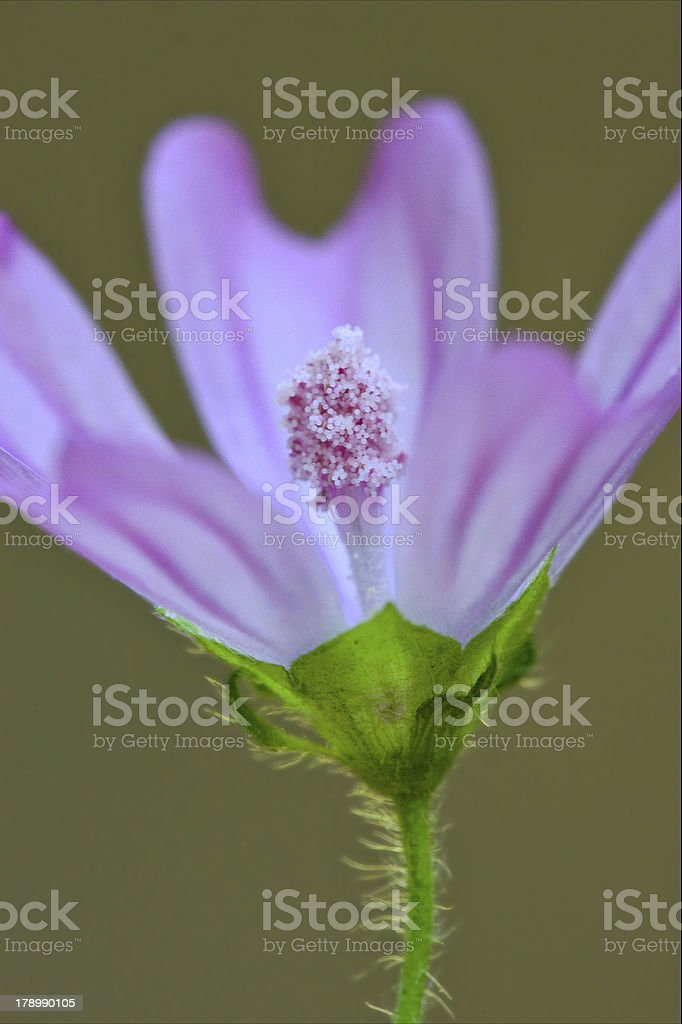 violet trimestris stock photo