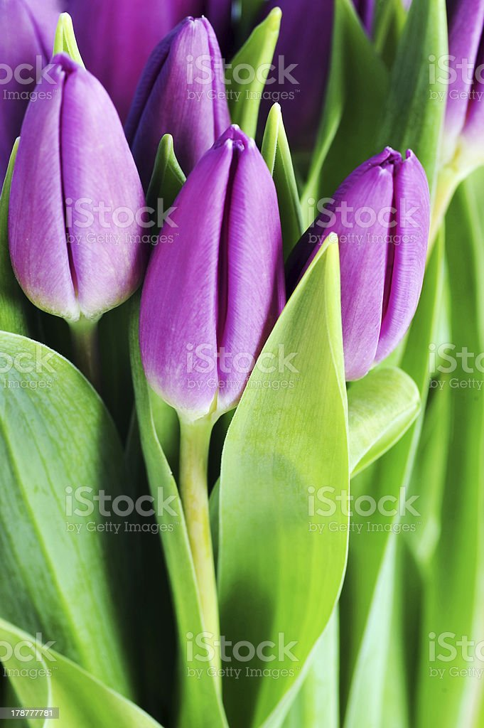 violet tulips royalty-free stock photo