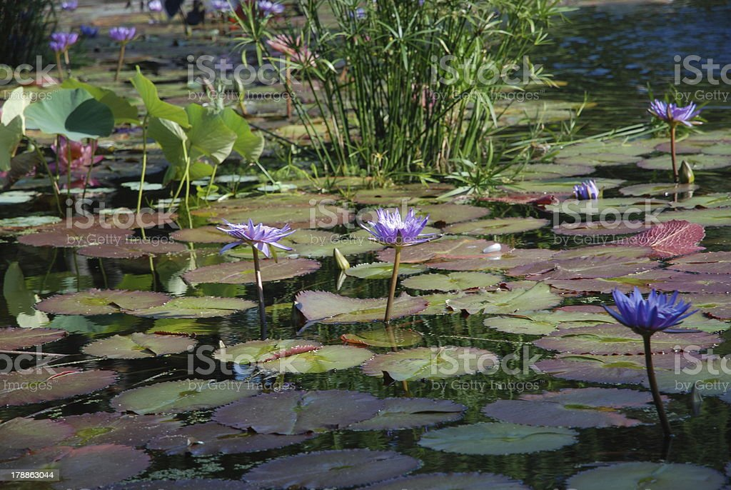 Violet Water Lilies royalty-free stock photo