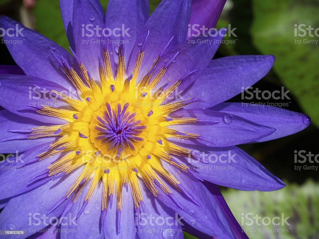 violet water lily royalty-free stock photo