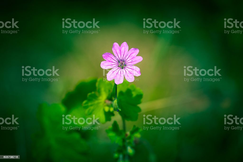 Violet wildflower on green background stock photo