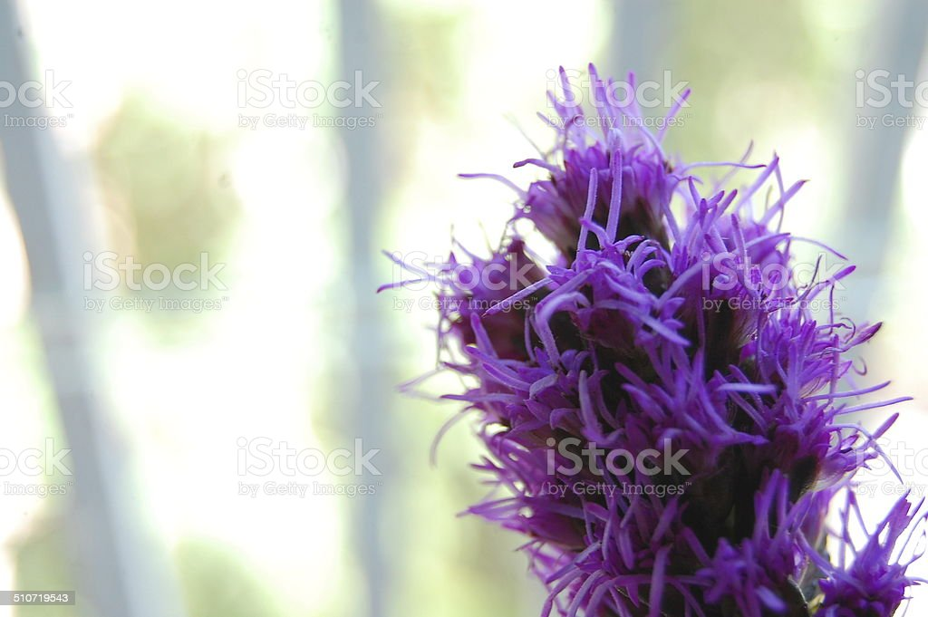 Violeta stock photo