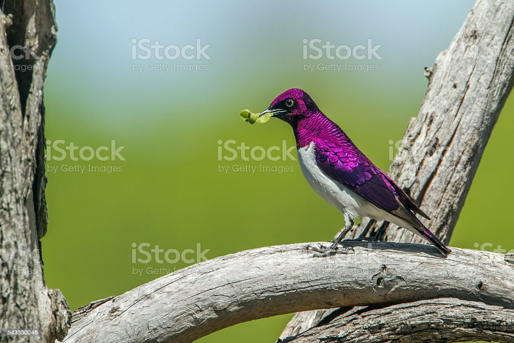 Violet-backed starling in Kruger National park, South Africa stock photo