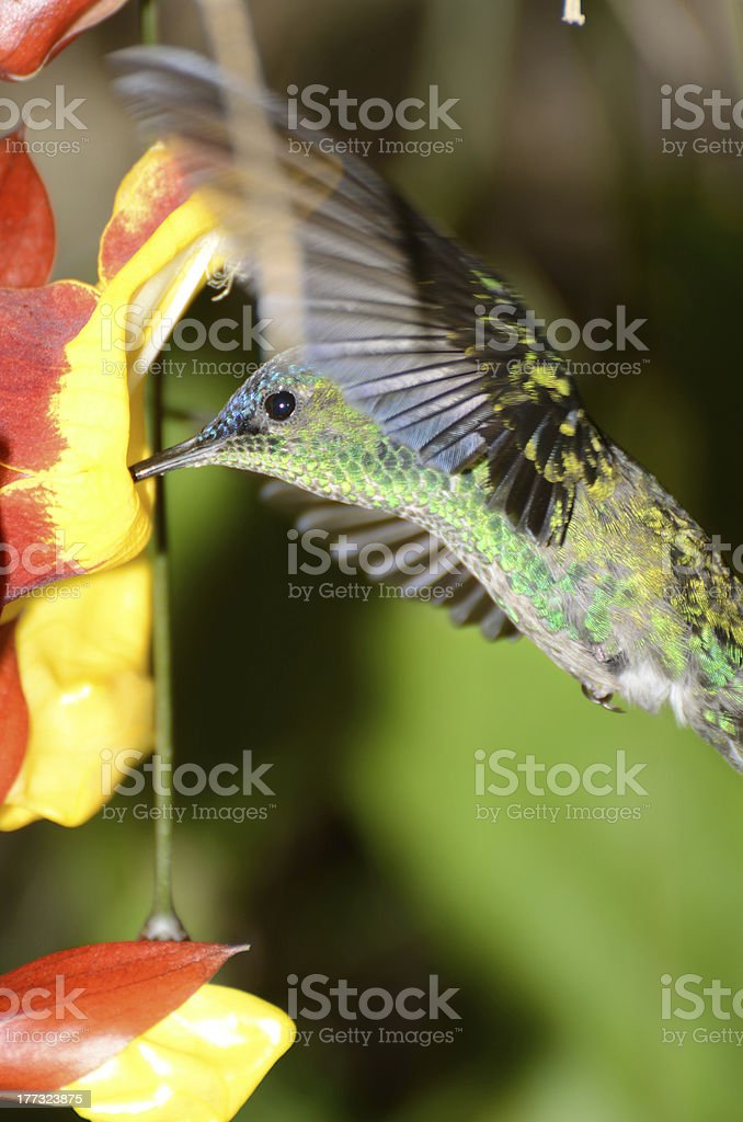 Violet-capped woodnymph in Ilha Grande RJ stock photo