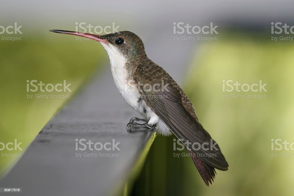 Violet-crowned Hummingbird royalty-free stock photo