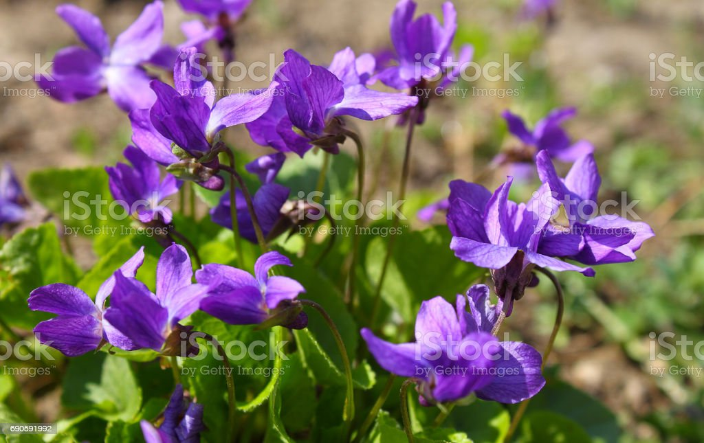 Violets in green grass in a spring park stock photo