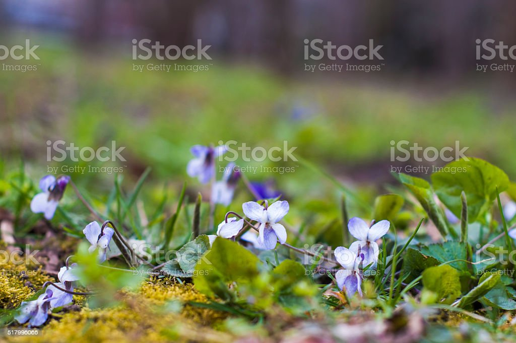 Violets in the forest stock photo