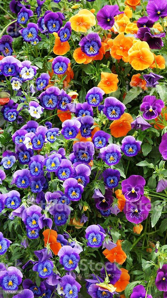 Violets royalty-free stock photo