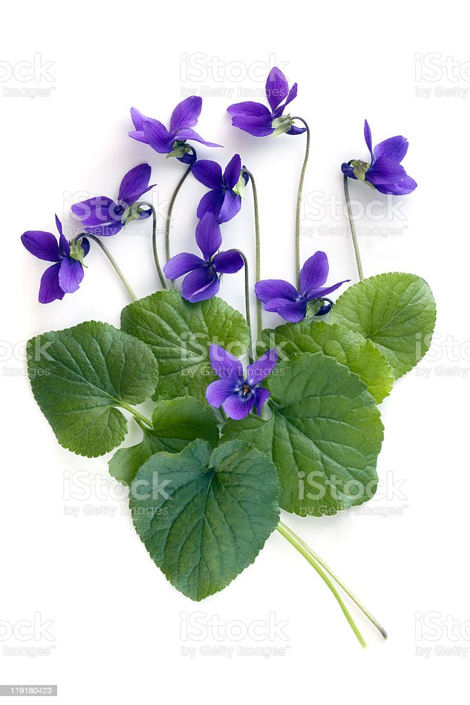 Violets with green leaves against a white background stock photo