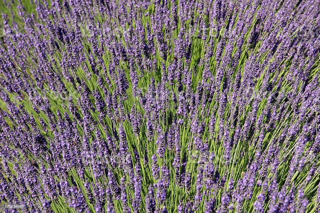 Violett lavender royalty-free stock photo