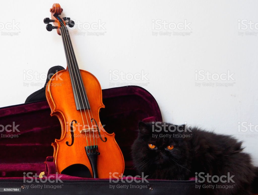 violin in its case with a black persian cat stock photo 825507684
