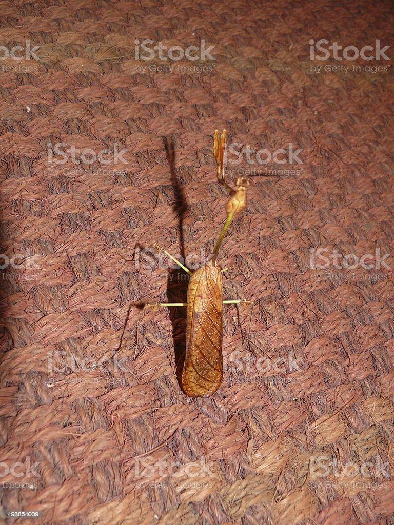 Violin Mantis male (Gongylus gongylodes) Family- Empusidae. stock photo