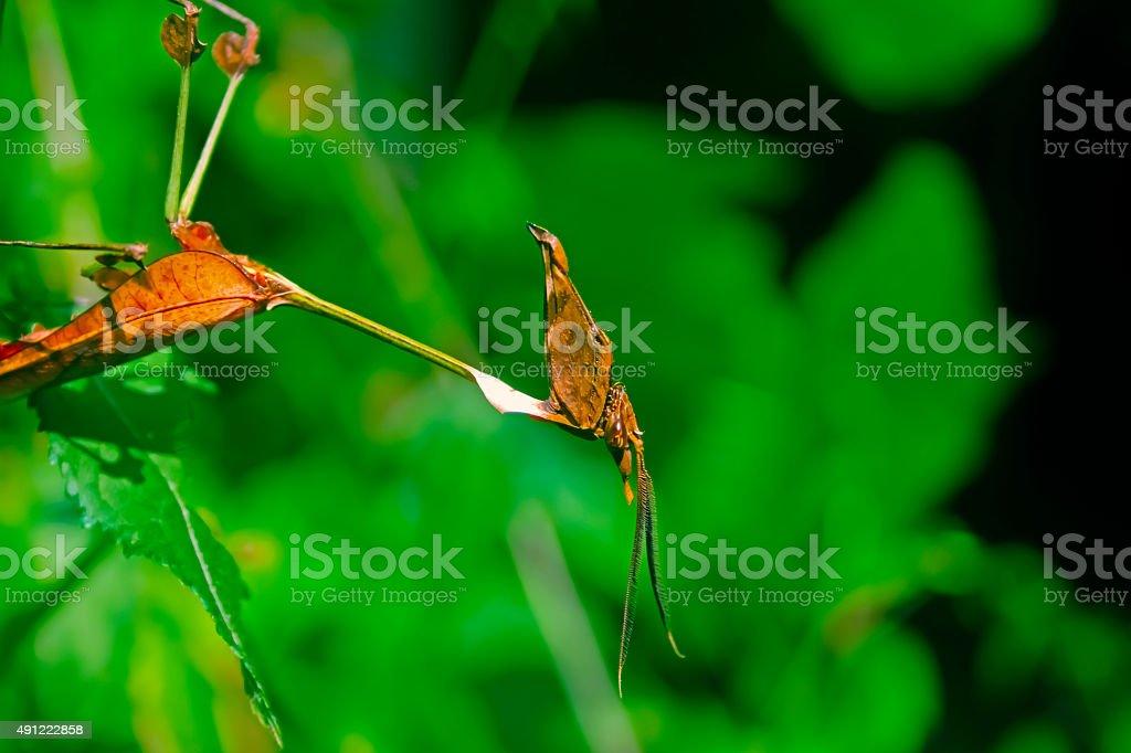 Violin Mantis male, Gongylus gongylodes, Family- Empusidae stock photo