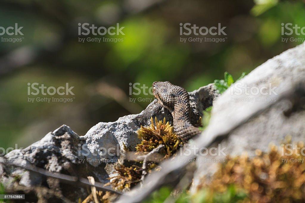 Viper aspic (Vipera aspis) stock photo