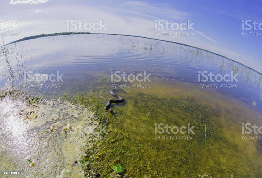 Viper is basking in shallow water in the lake stock photo