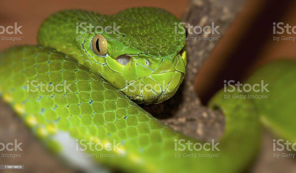 Viper portrait royalty-free stock photo