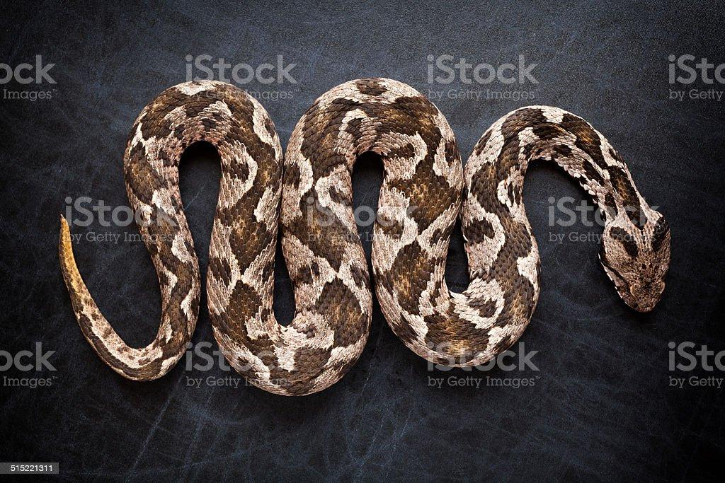 Viper snake stock photo
