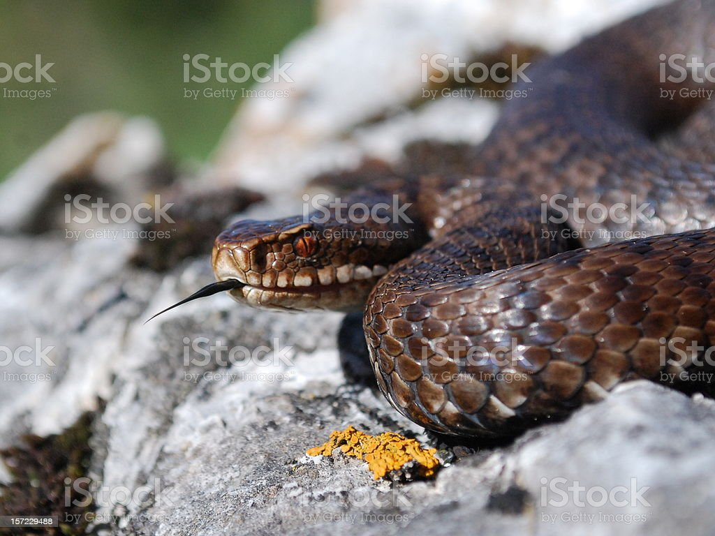 Vipera Berus royalty-free stock photo