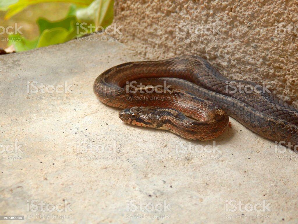 Vipera berus stock photo