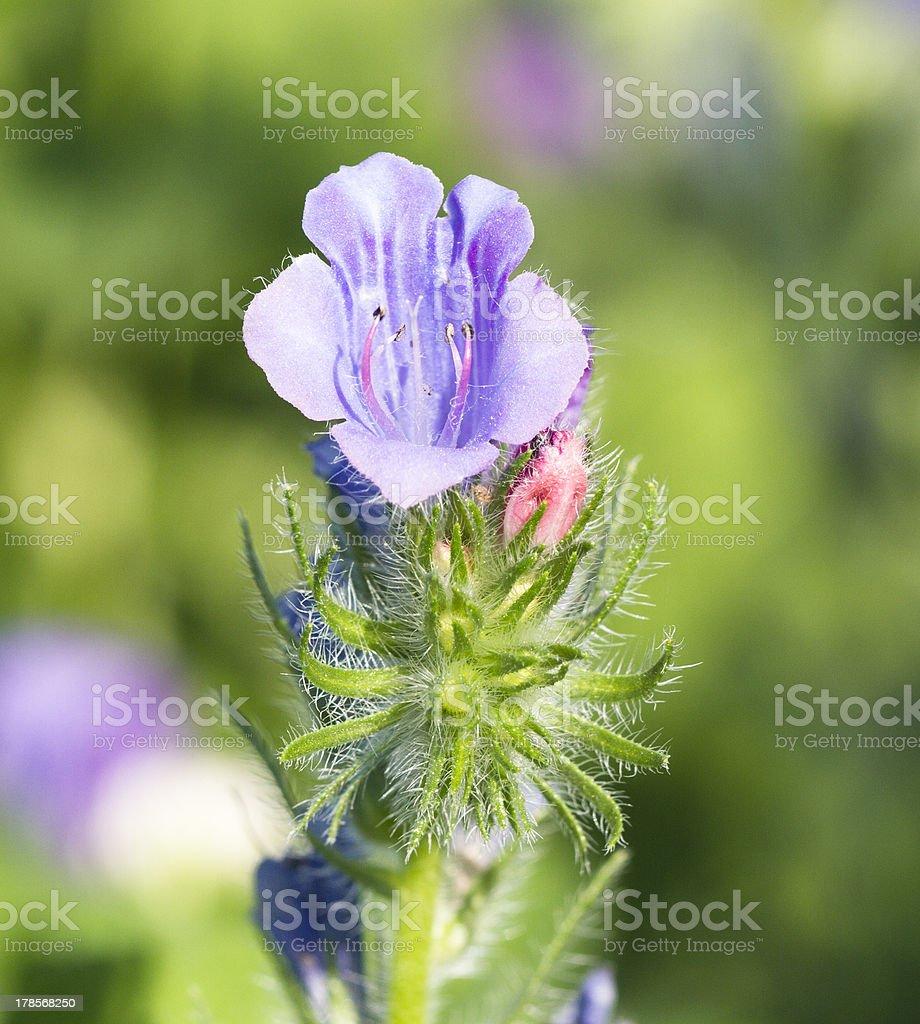 Viperina azzurra stock photo