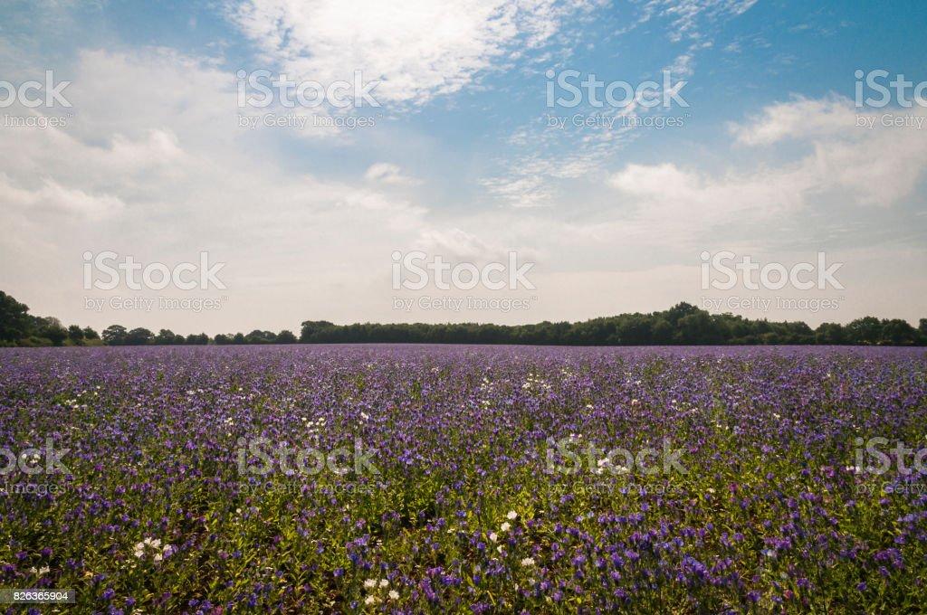 Viper's Bugloss crop stock photo
